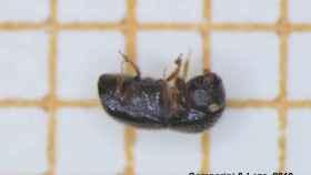 Un ejemplar de escarabajo 'Xylosandrus_compactus'