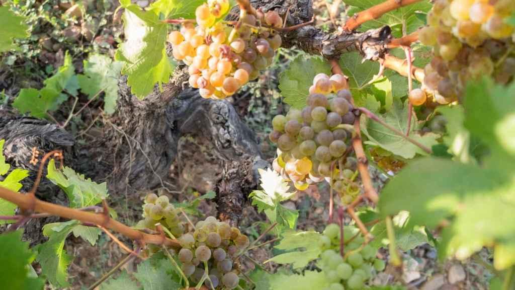 Muchas de las viñas son centenarias.