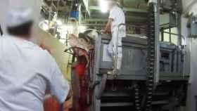 Una vaca es degollada sin aturdir en el matadero de Collado Villalba.
