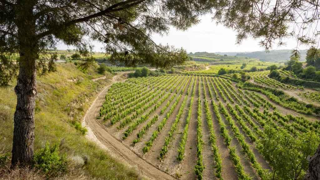 Los viñedos en el entorno de la bodega.