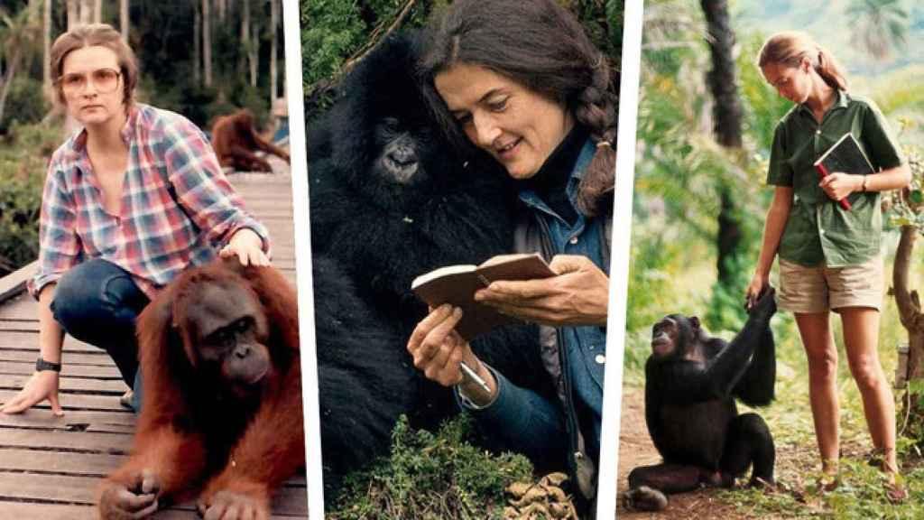 Biruté Galdikas, Jane Goodall y Dian Fossey.