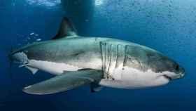 Un ejemplar de gran tiburón blanco.
