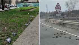 Más de un centenar de palomas han sido encontradas muertas en Badalona -izquierda- y estorninos, en Salou -derecha-.