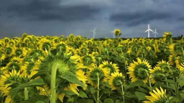 girasoles renovable verde