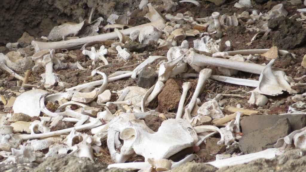 Varios restos óseos descubiertos el verano pasado en el enterramiento prehispánico ubicado en una cueva inaccesible del barranco de Guayadeque.