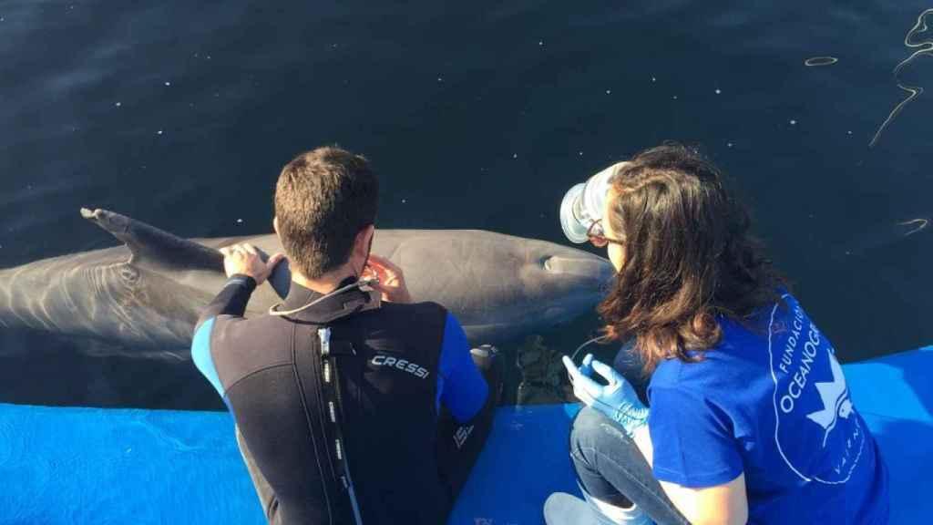 La espirometría permitirá cuantificar dolencias pulmonares, unas de las más graves y habituales en estos mamíferos marinos.