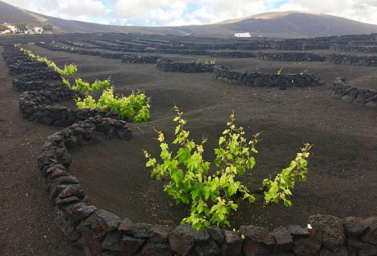 Uno de los característicos sistemas de cultivo en tierra volcánica.