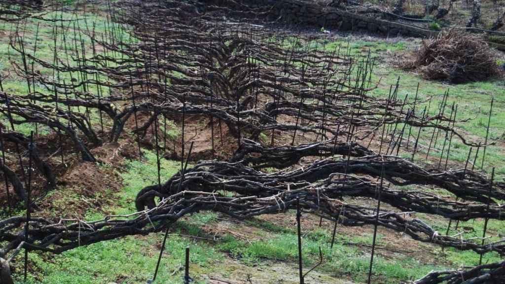 Cordón trenzado en el Valle de la Orotava.