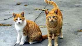 zamora gatos