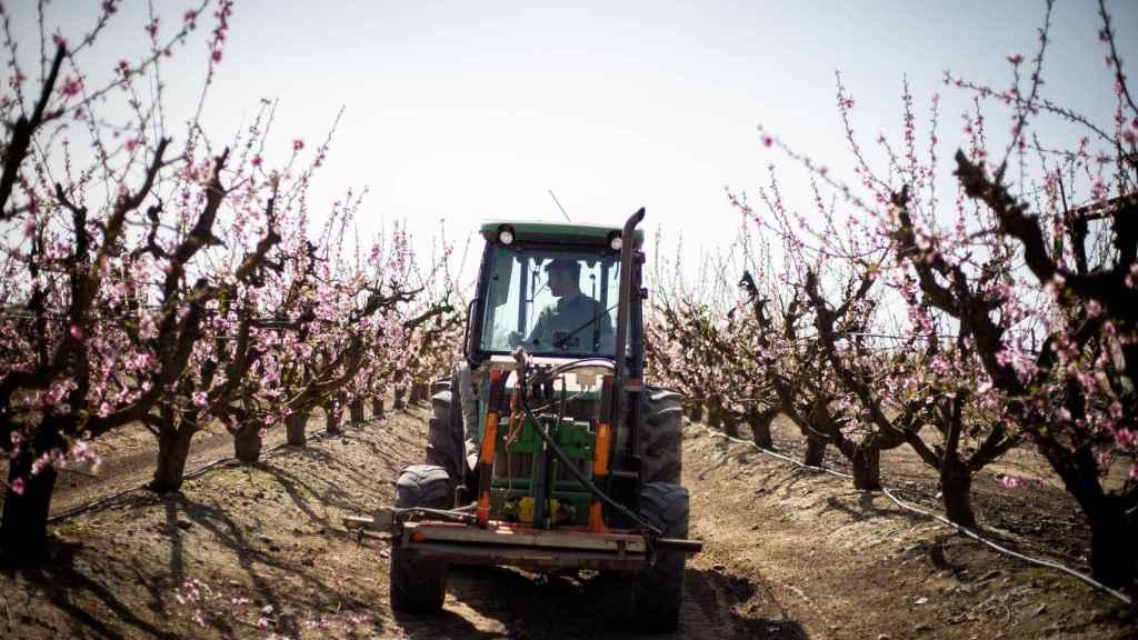 Juan Francisco con su tractor entre los almendros de su finca, en Zurbarán.