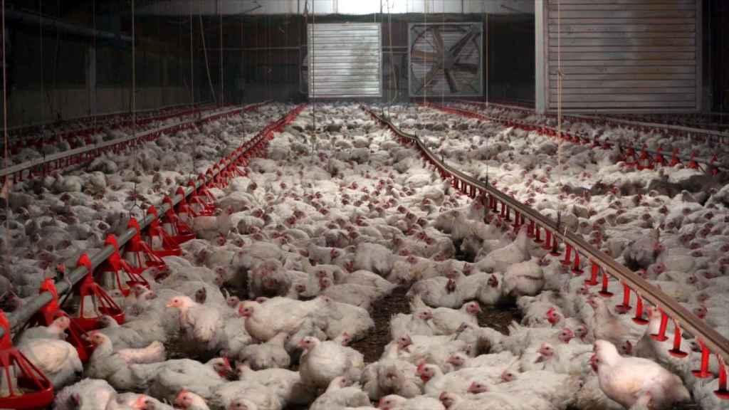 Vista general de una granja de pollos española.