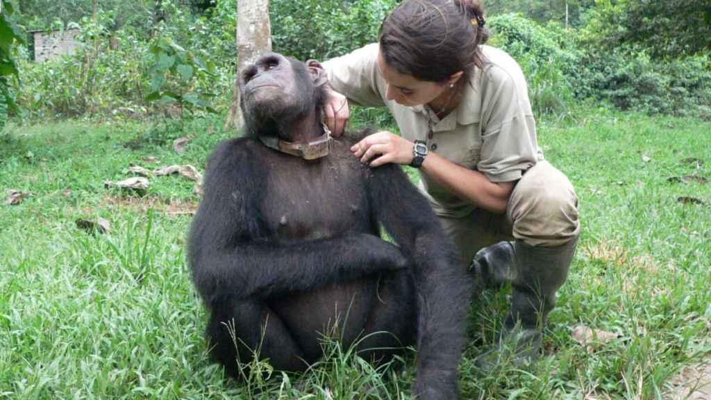 La veterinaria examina el pelaje de un chimpancé.