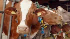 Vacas con los dispositivos wearables con 5G de Huawei