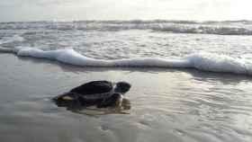 Una imagen de archivo de una tortuga marina.