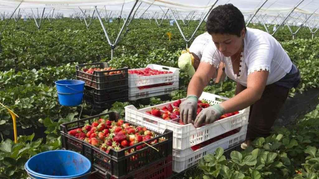 Una trabajadora recoge fresas en un campo onubense.