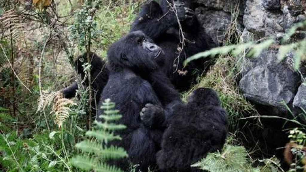 Una imagen de archivo de un grupo de gorilas de  montaña en gorilas de montaña en el Parque Nacional Virunga.