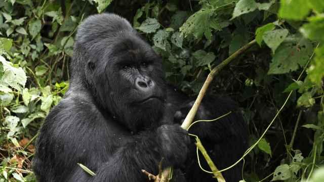 Una foto de archivo de un gorila de montaña plateado en peligro de extinción dentro del parque nacional Virunga.