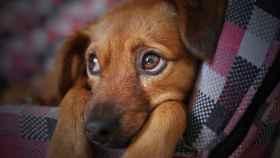 Temblores perro: ¿qué los produce?