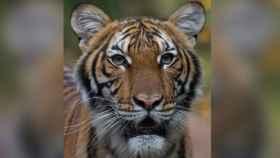 Esta foto sin fecha proporcionada por la Wildlife Conservation Society muestra a Nadia en el zoológico del Bronx.