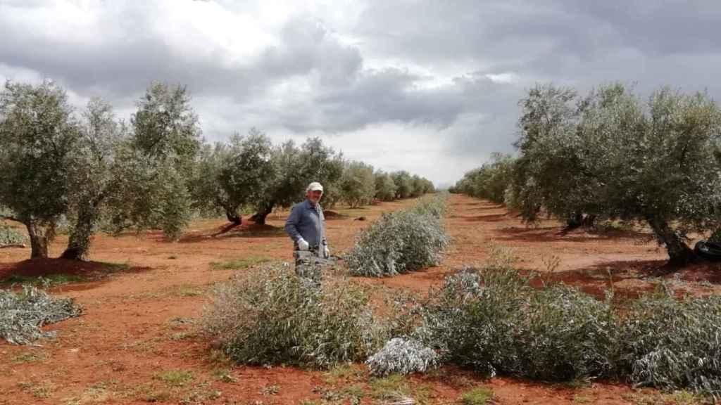 Arturo, mientras se desloma podando 5.000 olivos en una explotación de Almedina (Castilla-La Mancha).