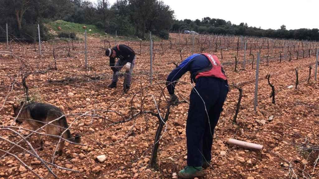 La falta de mano de obra en el sector agrícola de Castilla-La Mancha está dejando sin efectivos a las cuadrillas de jornaleros.