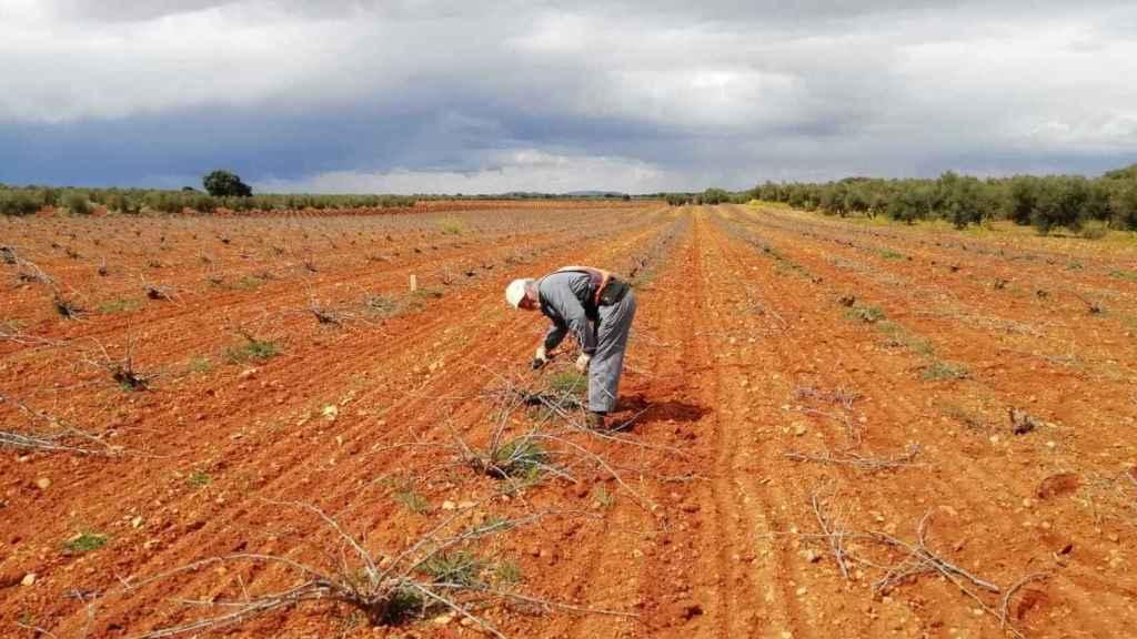Arturo, en la más absoluta soledad, arreglando parras en una finca de Almedina (Castilla-La Mancha).