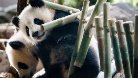 Dos pandas en un zoo.
