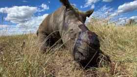 Al menos nueve rinocerontes han sido víctimas de caza furtiva en Sudáfrica desde que comenzó la pandemia.