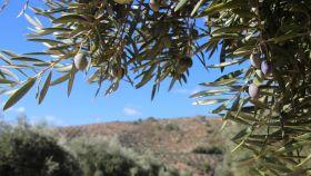 La enfermedad se detectó por primera vez en Europa en la región de Apulia en Italia.