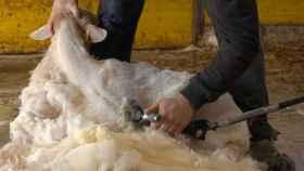 La lana latxa, hasta ahora, no tenía ningún valor y se tiraba como residuo.