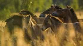 Manada de caballos de Przewalski en la Zona de Exclusión de Chernóbil (Ucrania). Septiembre 2016.
