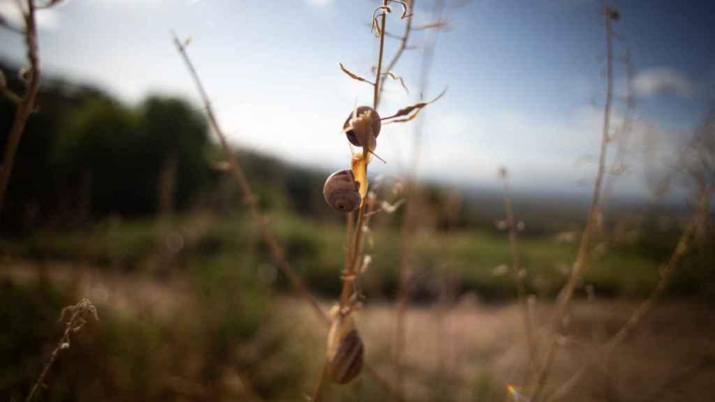 Un caracol blanquillo en plena naturaleza.