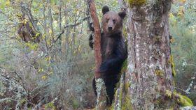 Imagen del oso pardo macho grabado en el Macizo Central orensano.