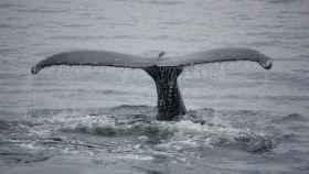 El silencio de la pandemia atrae a las ballenas hacia el litoral brasileño.