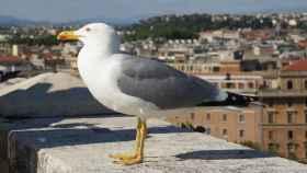 Una gaviota en Roma.