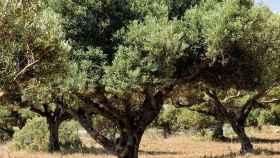 Así se puede aprovechar de forma innovadora la hoja del olivo
