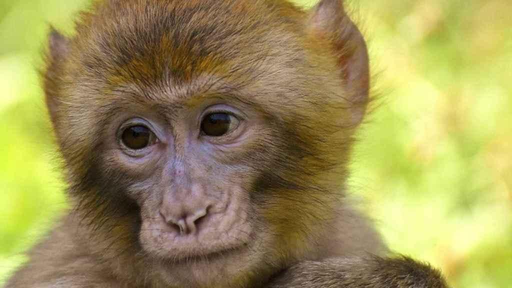 Los nuevos estudios sugieren una inmunidad protectora natural contra la COVID-19 en macacos.