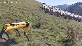 Perro robot pastando en Nueva Zelanda.