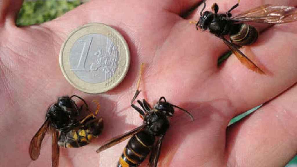 Las avispas asiáticas miden un 3 centímetros. Son tan grandes como un euro.