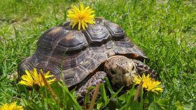 Una foto de la tortuga, llamada Sra. Jennifer, que ha quedado huérfana en la pandemia.