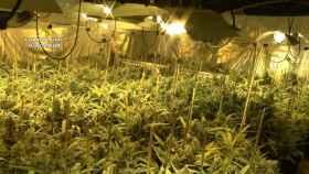 La plantación de marihuana descubierta en la localidad toledana de Burguillos