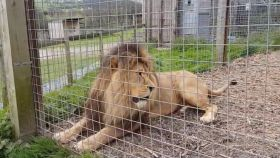 Una captura del vídeo difundido por el zoo Borth Wild Animal Kingdom.