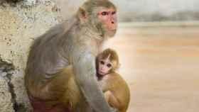 Los monos roban muestras de sangre de coronavirus en la India