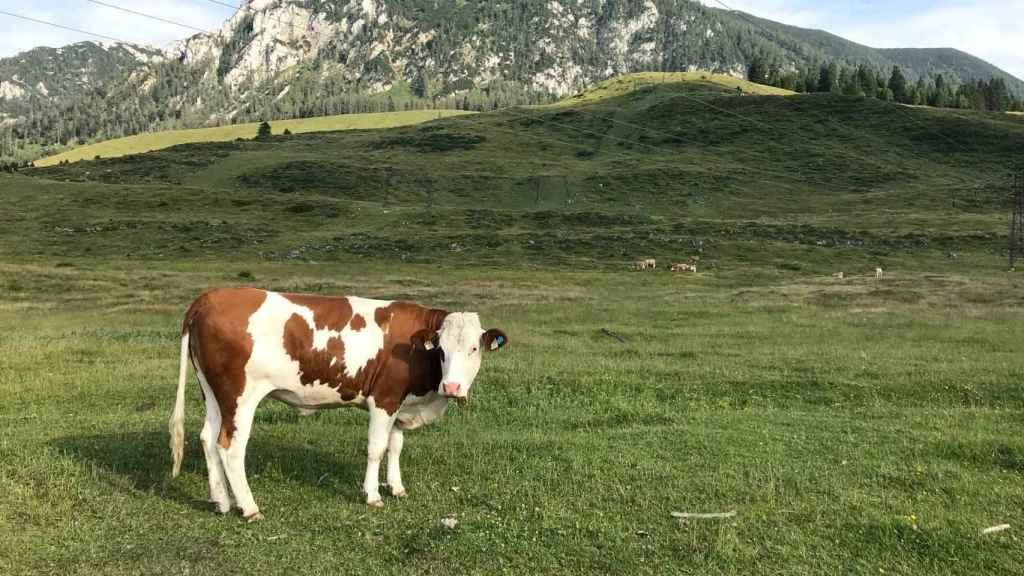 Una vaca en un campo