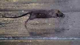 Una rata atraviesa una acera en el distrito de Manhattan de la ciudad de Nueva York.