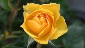 ¿Qué significan las flores amarillas?