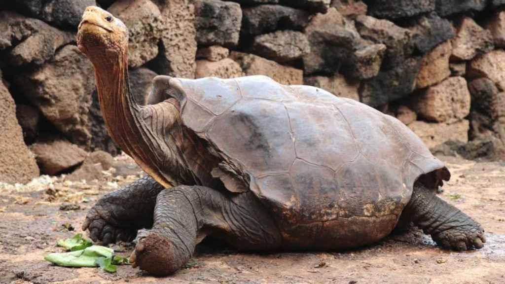 Diego, la tortuga semental que de tanto aparearse ayudó a salvar a su especie de la extinción: 800 hijos