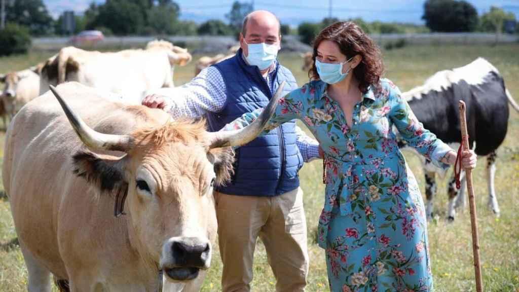 La presidenta de la Comunidad de Madrid y el alcalde de Garganta de los Montes con unas vacas.