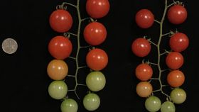Los tomates con tres copias de genes crecen más que los que solo tienen una. M. Alonge et al./Cell 2020