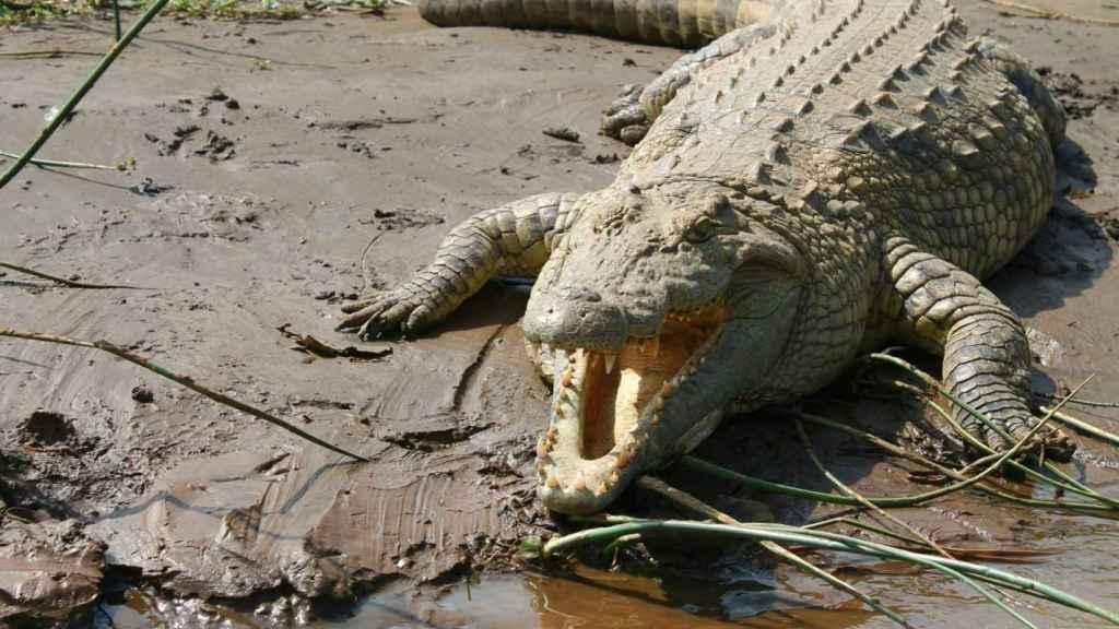 Un cocodrilo del Nilo en África.